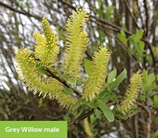 Grey willow catkin/ flower - male
