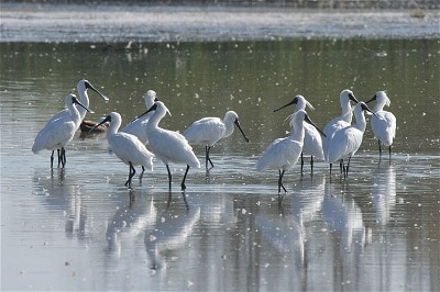 royal spoonbill flock steve attwood small