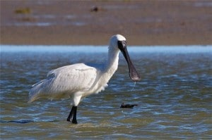 royal spoonbill steve attwood 2 small