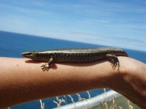 The spotted skink