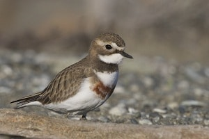 The banded dotterel. Photo courtesy of Christchurch photographer, Steve Attwood.