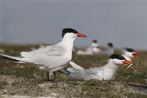Caspian tern. Photo courtesy Steve Attwood