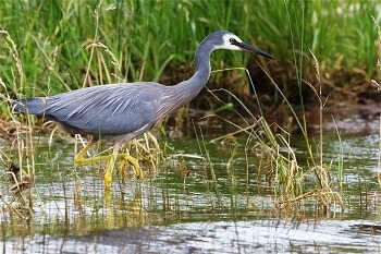 The white-faced heron. Photo courtesy Steve Attwood, Christchurch.