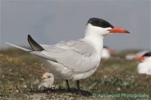 Caspian tern and chick. Photo courtesy Steve aTTWOOD.