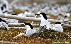White-fronted terns. Photo courtesy Steve Attwood.