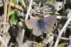 Common Blue Butterfly at rest.