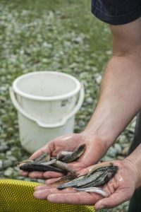 Dr. Shannan Crow holding a by-catch of bullies and smelt at Te Waihora (Lake Ellesmere).  Photograph by Dave Allen.