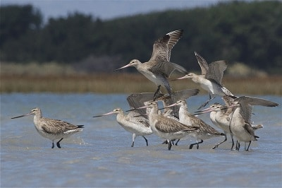 A kūaka flock arriving at Te Waihora/Lake Ellesmere. Photo courtesy Steve Attwood.
