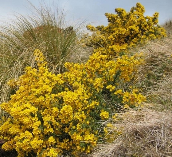 Gorse in flower. Photo courtesy Frances Schmechel, Environment Canterbury.