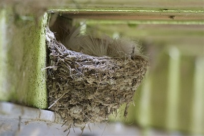 Welcome swallow nest. Photo courtesy Rima Herber, Christchurch.