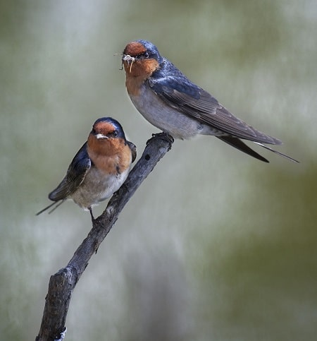 The welcome swallow. Photo courtesy Rima Herber, Christchurch.