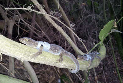 A pair of gecko show off their new transmitting devices.