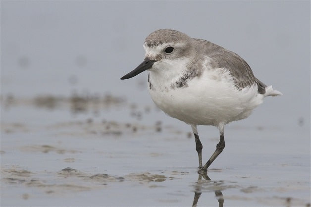 Wrybill. Photograph copyright Steve Attwood, Christchurch