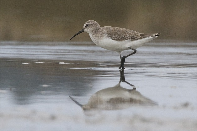The Curlew Sandpiper at Te Waihora/Lake Ellesmere. Photo courtesy of Steve Attwood, Christchurch.