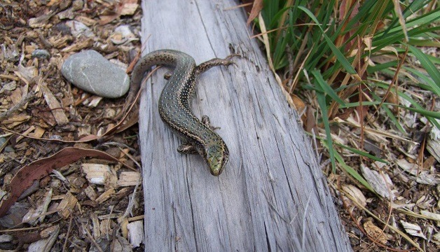 Spotted skink. Photograph courtesy of DOC